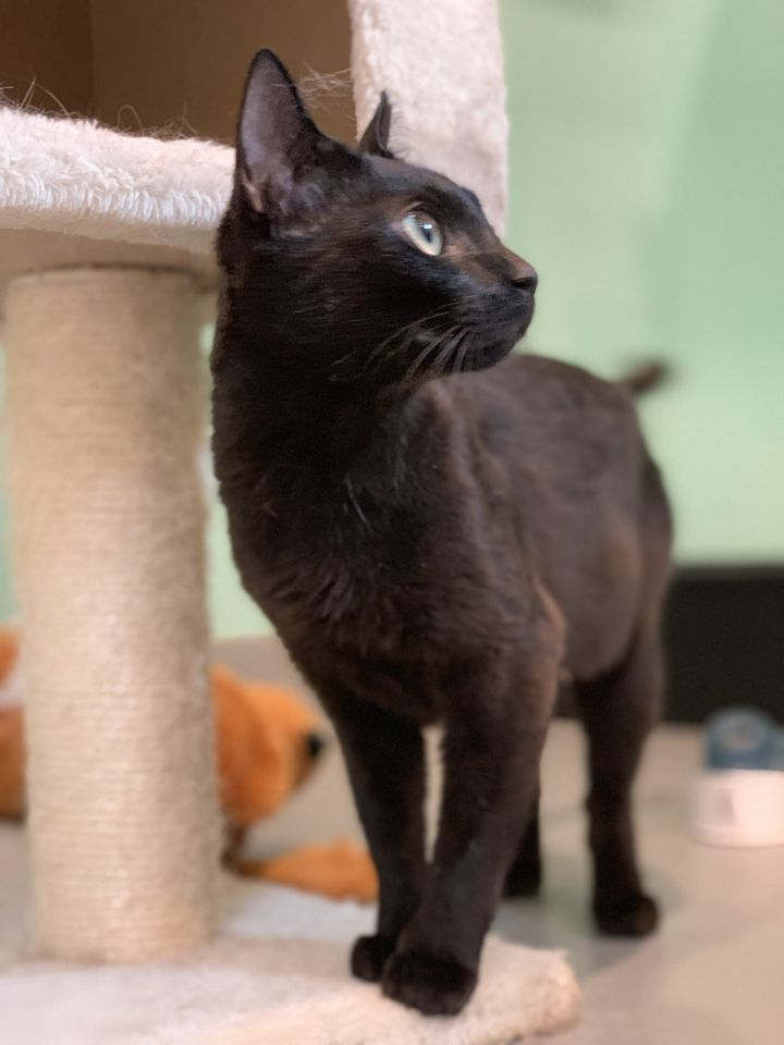 Poblano, an adopted Domestic Short Hair Mix in Jackson, WY
