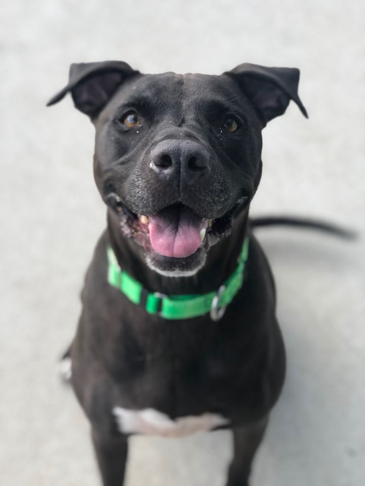 Ace, an adoptable Labrador Retriever Mix in Naperville, IL