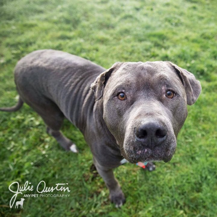 Chunk, an adoptable Pit Bull Terrier in Seattle, WA