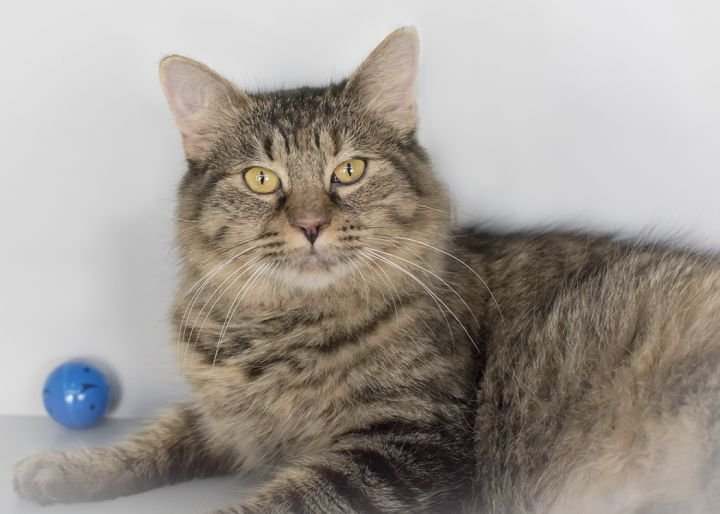 Zuri, an adopted Domestic Short Hair & Maine Coon Mix in Weehawken, NJ