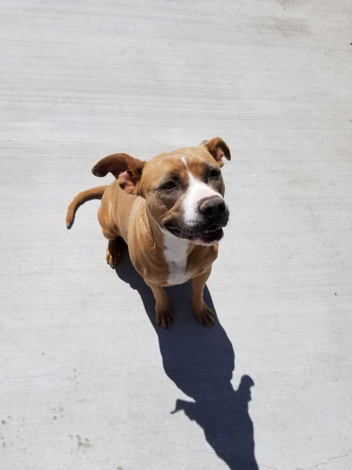 Zeena, an adopted Pit Bull Terrier Mix in Eagle, ID