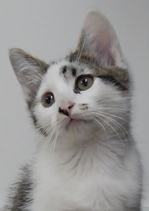 Cat for adoption - Anchorage is at Petsmart, a Domestic