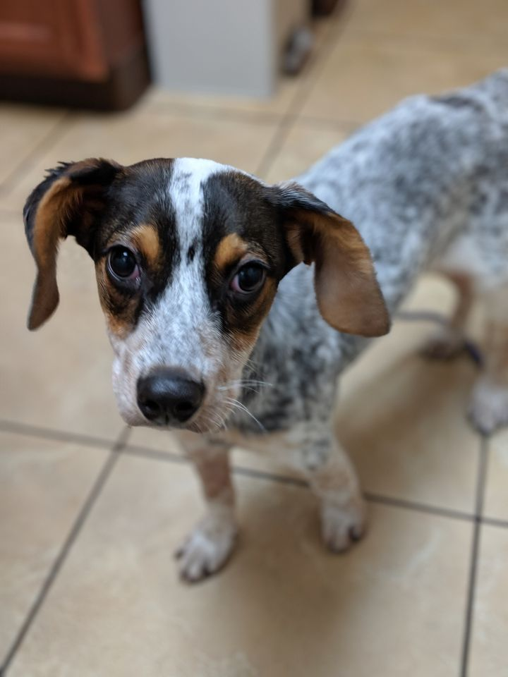 Pippi, an adoptable Australian Cattle Dog / Blue Heeler in Charleston, WV