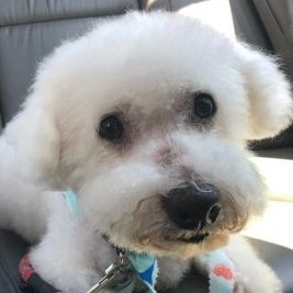 Dog for adoption - Huckleberry, a Bichon Frise Mix in San