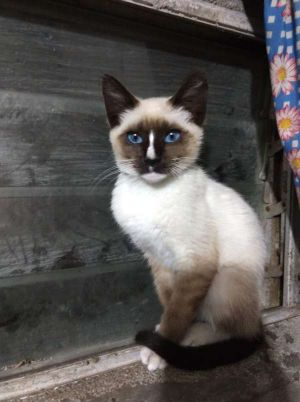 Cat for adoption - Sky, a Snowshoe & Siamese Mix in Agoura Hills, CA