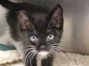 Cat for adoption - MONA, a Domestic Medium Hair in San Jose, CA
