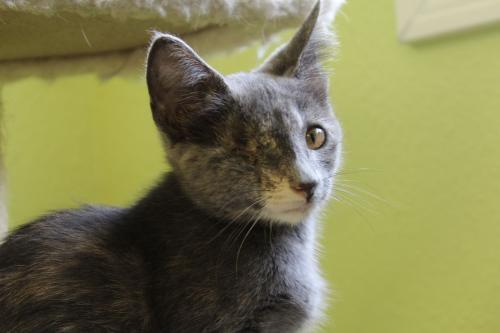 Poppy, an adoptable Dilute Calico Mix in Tunica, MS