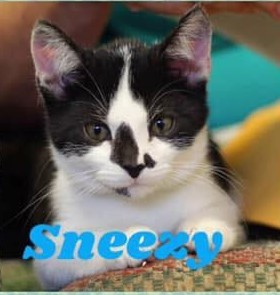 Sneezy, an adopted Tuxedo Mix in Tunica, MS