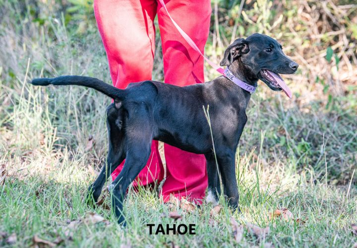 Tahoe, an adoptable Hound Mix in Washington, GA