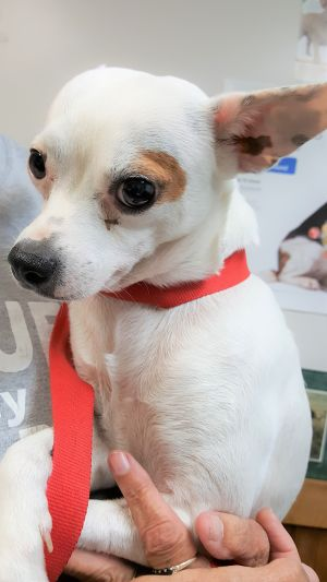 Dog for adoption - Bama, a Chihuahua & Jack Russell Terrier Mix in