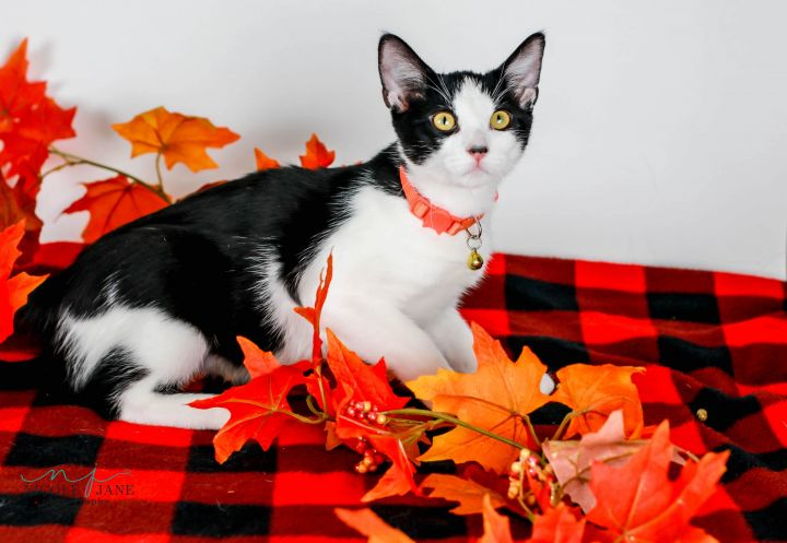 Windy, an adoptable American Shorthair Mix in Springfield, MO