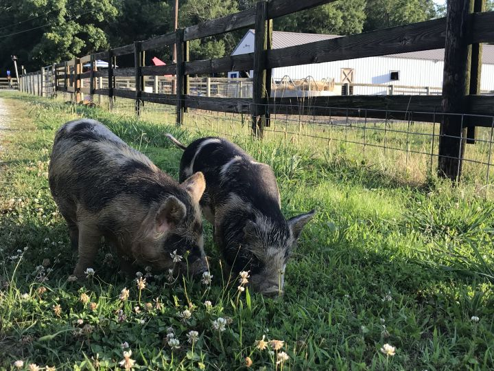 Mona & Lisa, an adoptable Pot Bellied Mix in Durham, NC