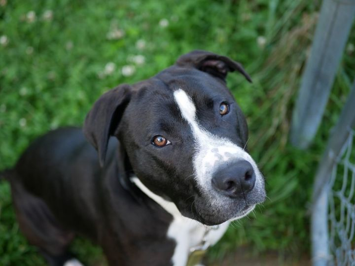 Morley, an adopted Pit Bull Terrier Mix in South Charleston, OH