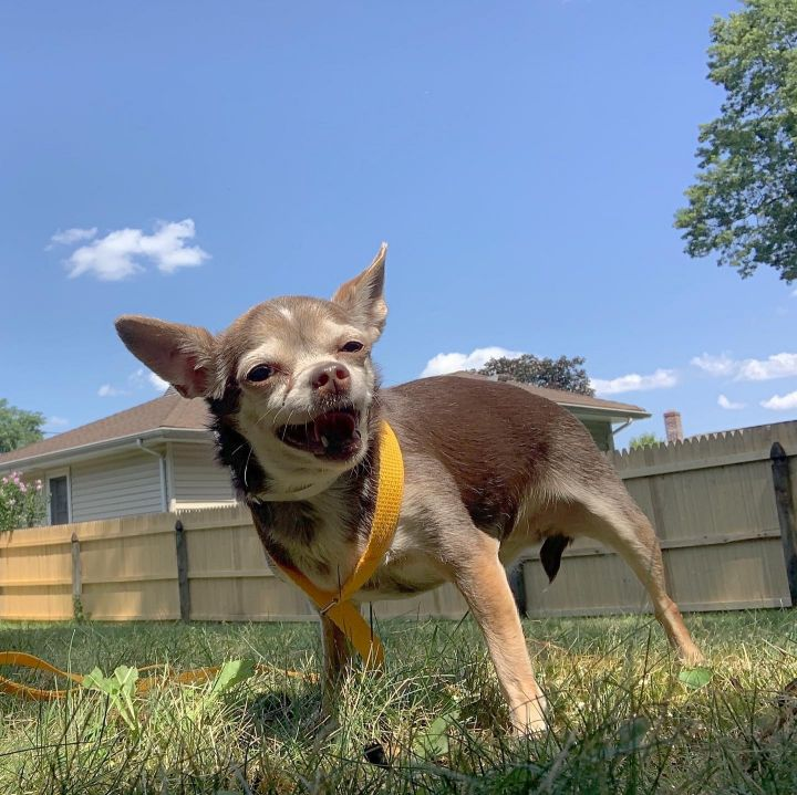 Perla, an adoptable Chihuahua in Parsippany, NJ