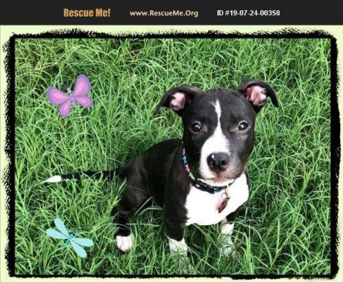 Dog For Adoption Tink An American Staffordshire Terrier Border