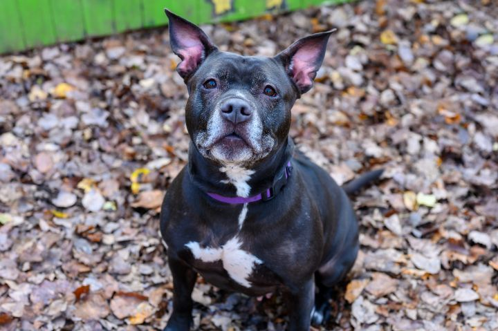 Petunia - In Foster!, an adoptable Pit Bull Terrier Mix in Briarcliff Manor, NY