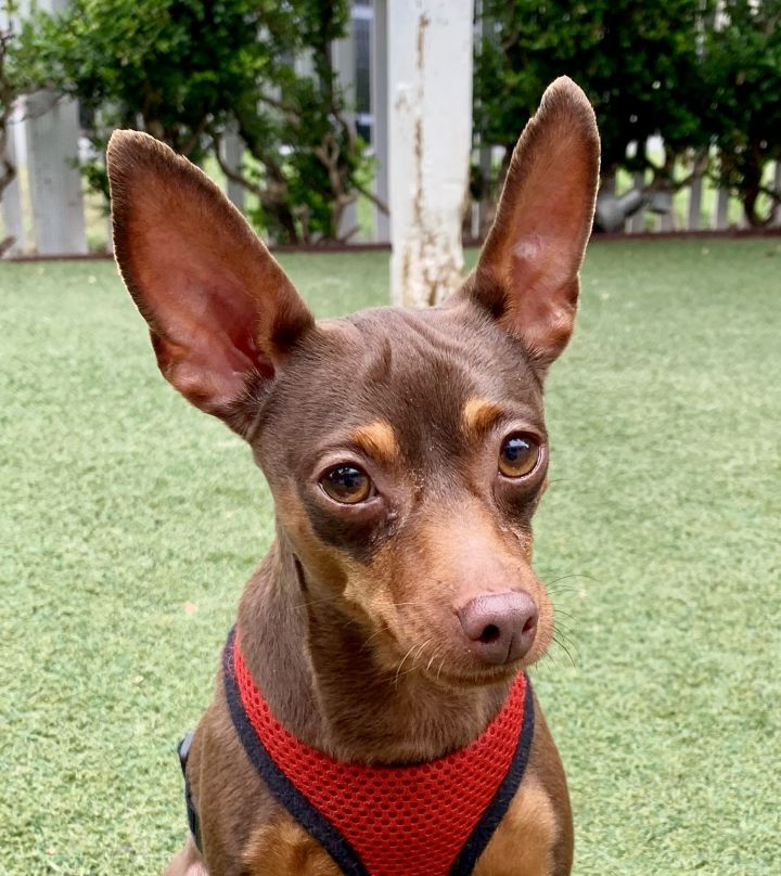 Maxine, an adoptable Miniature Pinscher in Beverly Hills, CA