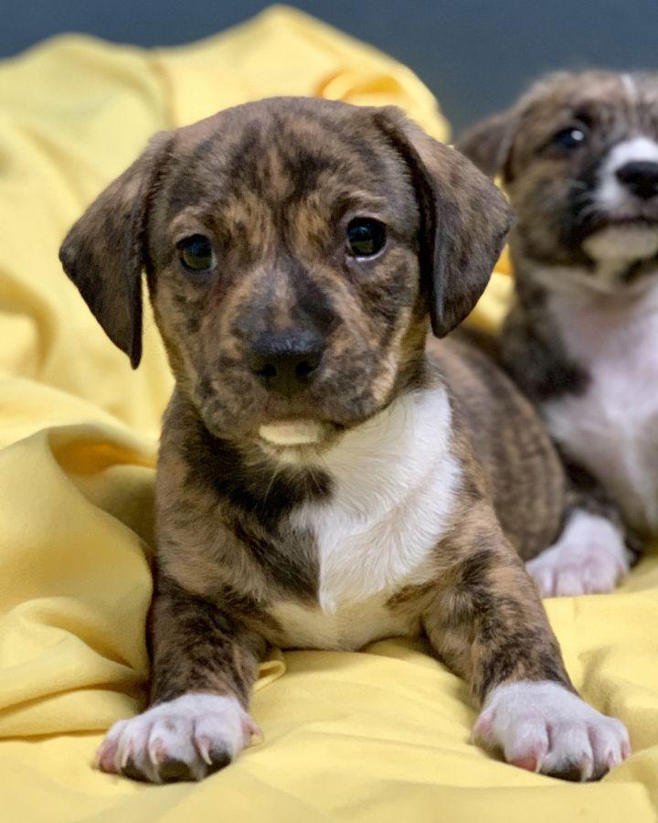 Dog For Adoption Patty S Puppies A Labrador Retriever