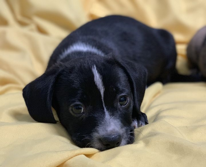 Patty's Puppies, an adoptable Labrador Retriever & Staffordshire Bull Terrier Mix in Beverly Hills, CA