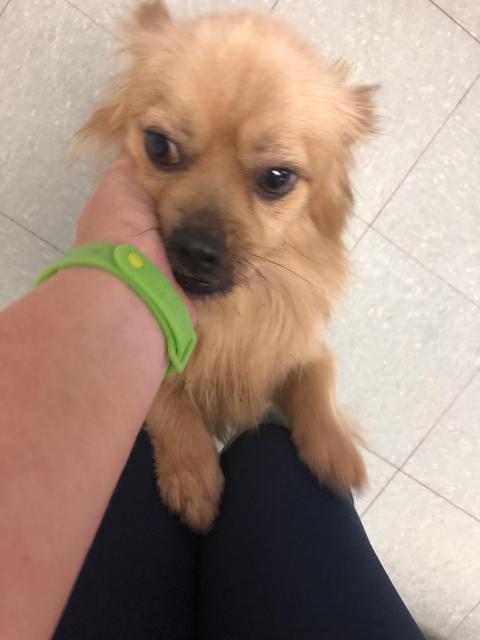 Dog for adoption - Fluffy, a Pekingese in Albany, GA | Petfinder