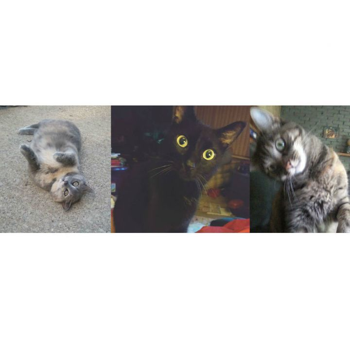 Ellie,Tommy,Tiger, an adoptable Domestic Short Hair Mix in Garfield Heights, OH