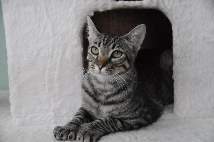 Hunter, an adoptable Tabby & Domestic Short Hair Mix in Jamestown, CA