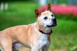 Grimmel Shiba Inu Dog