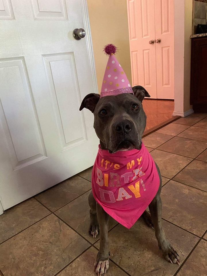 Sloane, an adoptable Pit Bull Terrier in Wantagh, NY