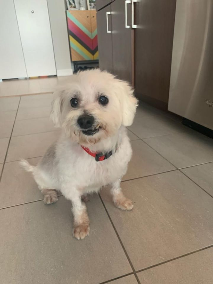 Winston, an adopted Maltese & Poodle Mix in Parsippany, NJ