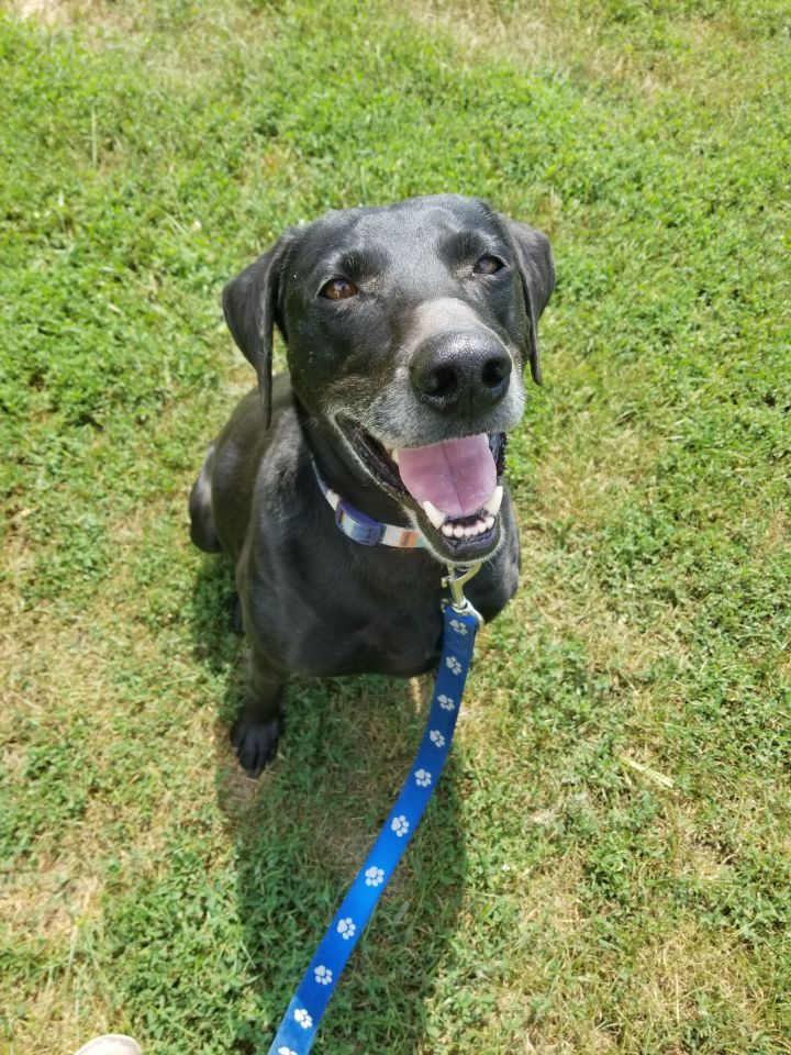 Jet, an adopted Labrador Retriever & Weimaraner Mix in South Charleston, OH