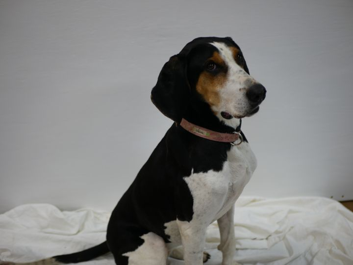 Clarabelle, an adoptable Treeing Walker Coonhound in South Charleston, OH