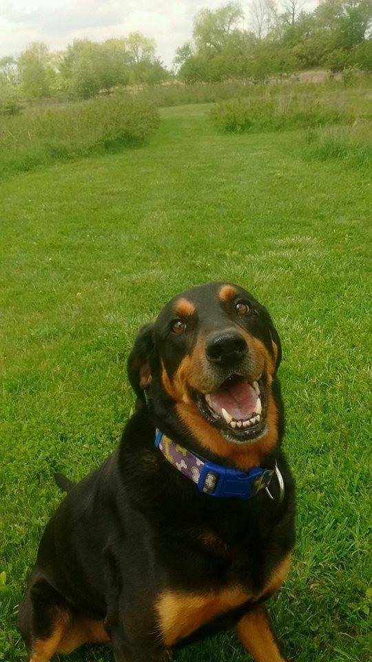 Tucker, an adopted Black and Tan Coonhound & Doberman Pinscher Mix in South Charleston, OH