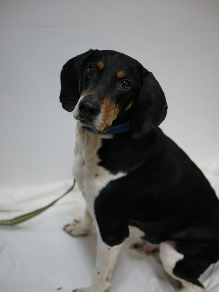 Dobby, an adoptable Treeing Walker Coonhound in South Charleston, OH