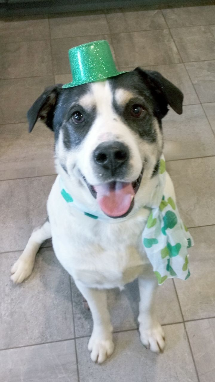 Buddy, an adopted Husky & Labrador Retriever Mix in South Charleston, OH