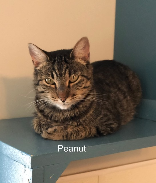 Peanut, an adoptable Tabby & Domestic Short Hair Mix in Lincoln, IL