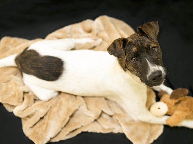 Loki, an adopted Foxhound & Terrier Mix in Cincinnati, OH