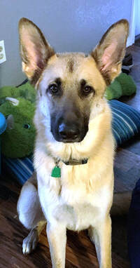 Dog for adoption - Shadow (referral), a German Shepherd Dog