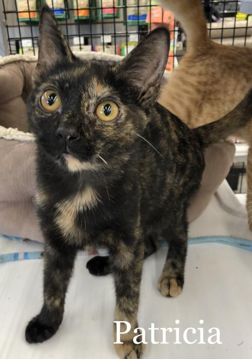 Patricia, an adopted Domestic Short Hair Mix in Orlando, FL