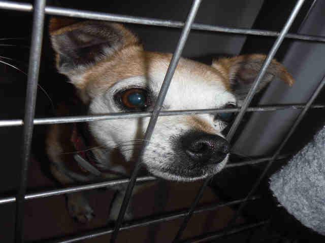 Dog for adoption - NANDO, a Chihuahua Mix in San Jose, CA | Petfinder