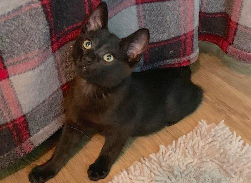 Kaleel, an adopted Domestic Short Hair Mix in Springfield, OR