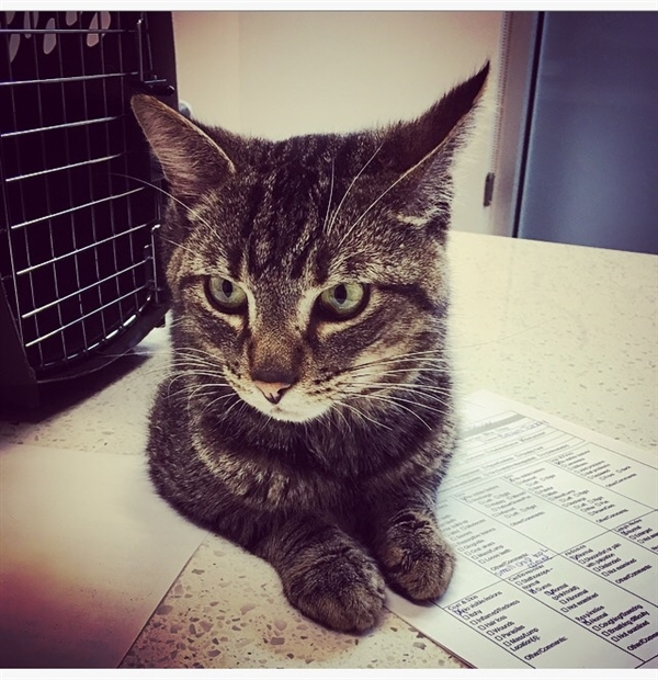 Cat for adoption - Churo, a Domestic Short Hair Mix in