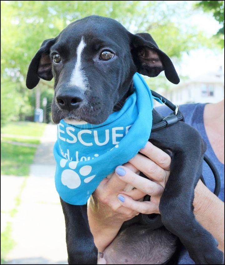 Dog for adoption - Mitchell Puppy (Midnight's Pup)- Adoption
