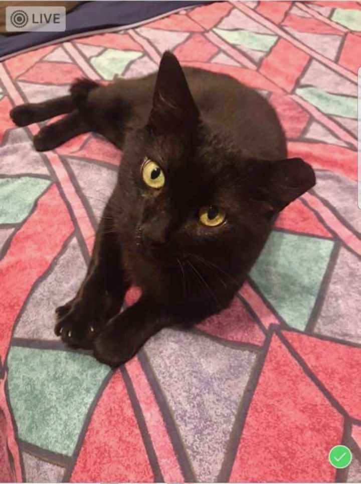 Panther, an adoptable Domestic Short Hair in Wantagh, NY
