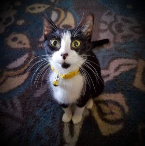Cat for adoption - Mama Mia, a Domestic Short Hair in Merrillville