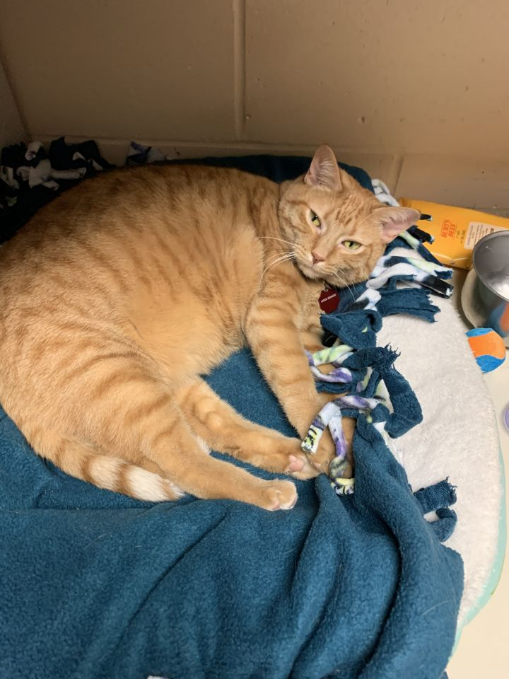 Nala, an adoptable Domestic Short Hair Mix in Appleton, WI