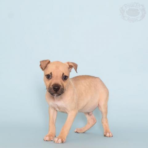 Dog for adoption - Triton, an American Bulldog in Columbus, GA