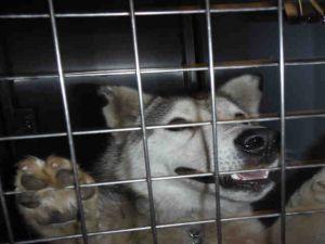 Dog for adoption - A1139478, a Siberian Husky in San Jose
