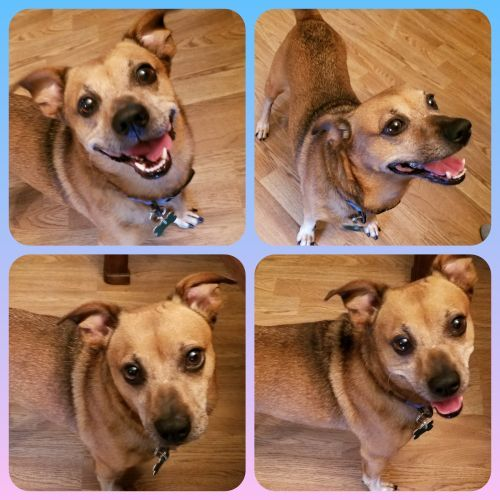 Koko, an adopted Jack Russell Terrier & Chihuahua Mix in Toronto, ON