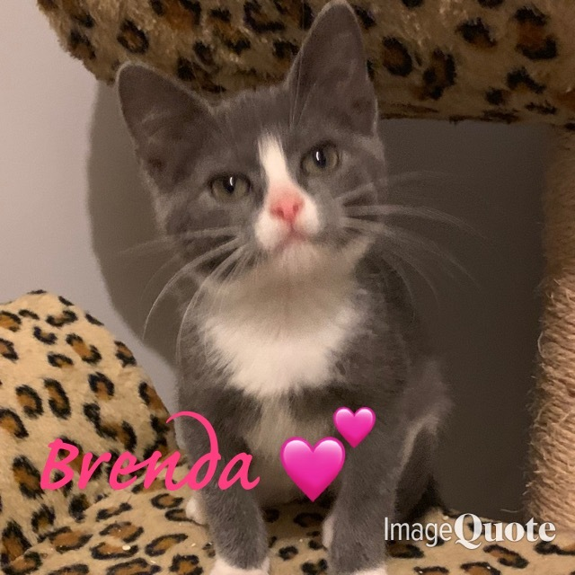 Brenda- 90210 themed litter, an adopted Domestic Short Hair in Staten Island, NY