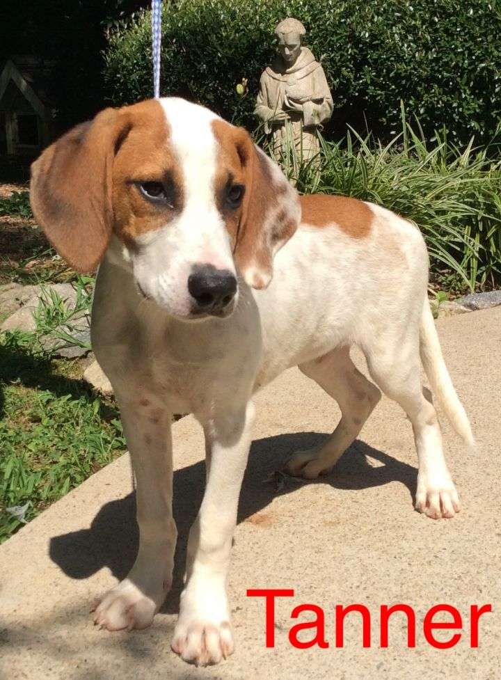 Tanner, an adopted English Coonhound Mix in Dahlonega, GA